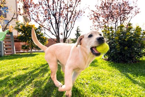 dog in the backyard one big reason millennials are buying homes for their dogs nbc news