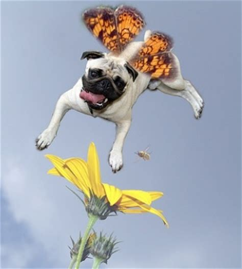 pug butterfly the 132 best images about pugs photoshopped lol on pug bread seal and