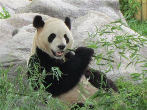 Panda With by Baby Pandas Bamboo Www Pixshark Images