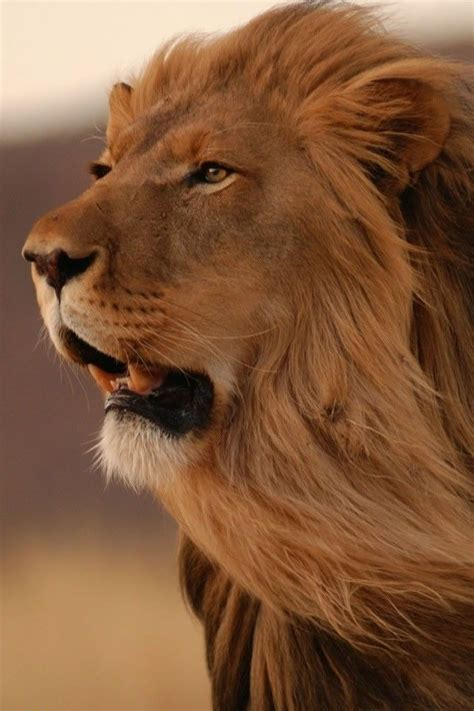 wallpaper iphone lion 24 best images about king of the jungle lion roar on