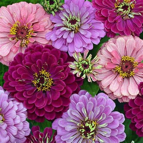 zinnias flower garden zinnia seeds 118 top zinnias annual flower seeds