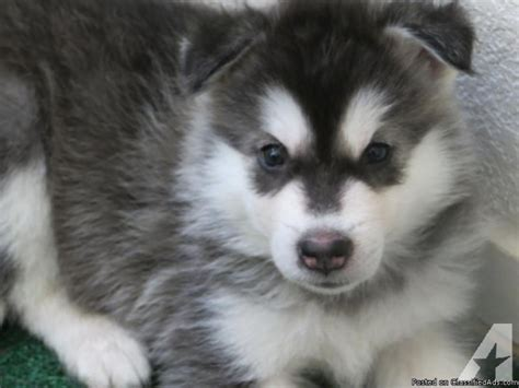 alaskan malamute puppies for sale california alaskan malamute puppies for sale born may 25 2013 taking deposits now for sale in