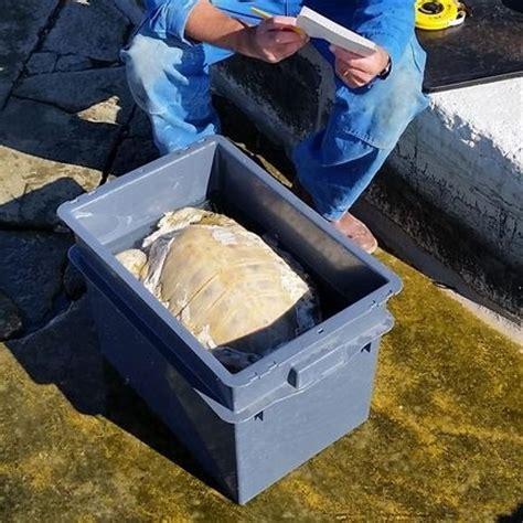 tartarughe marine alimentazione tartaruga morta nell arsenale di venezia tartapedia