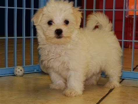dogs for sale in az maltese puppies dogs for sale in arizona az 19breeders gilbert peoria