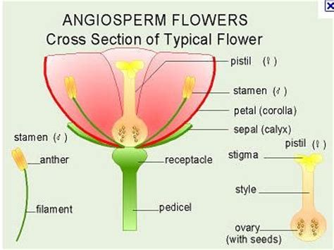Cross Section Of A Flower by Scienceallthetime Cross Section Of A Hibiscus Flower