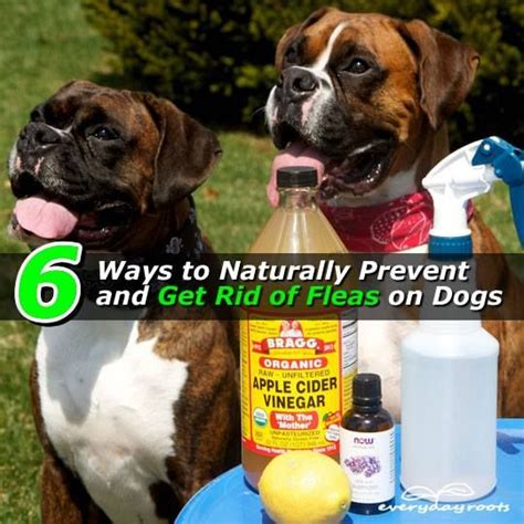 how to get rid of fleas in carpet and upholstery 11039837 974377625927351 4221253919320672265 n pets
