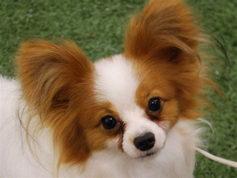 papillon puppies papillon wallpapers wallpaper cave
