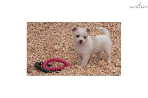 pomeranian puppies for sale in redding ca chihuahua puppy for sale near redding california d3a02250 a981