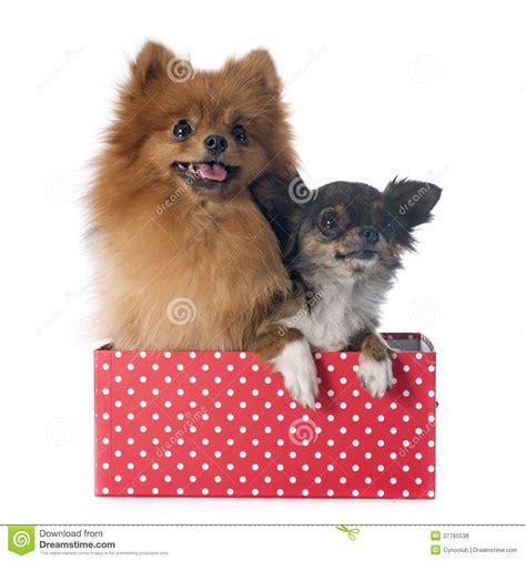 spitz and pomeranian pomeranian spitz and chihuahua royalty free stock photos image 37765538