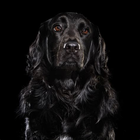 all black dogs overlooked black dogs a photo project that brings awareness to the least adopted