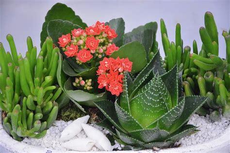 pianta con fiori fucsia piante grasse fiori fucsia una pianta di echeveria con