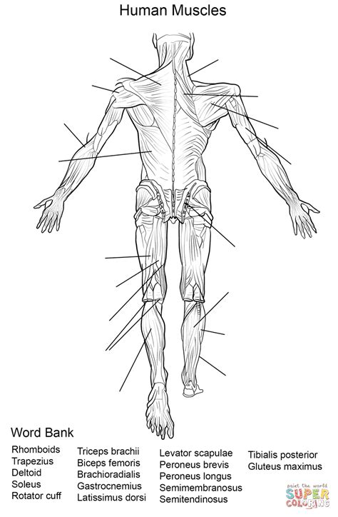 human muscles back view worksheet coloring page free