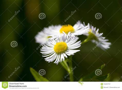 fiore della camomilla sfondo naturale fiore della camomilla immagine stock