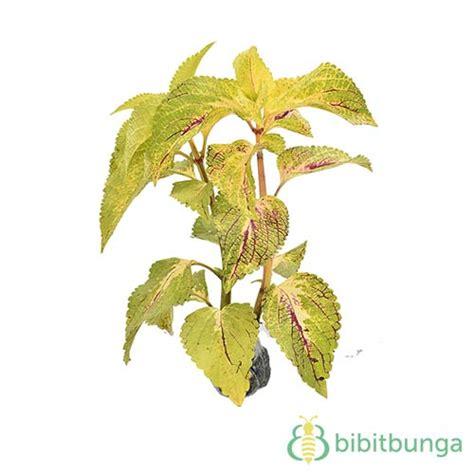 jual tanaman coleus purple vein bibitbungacom
