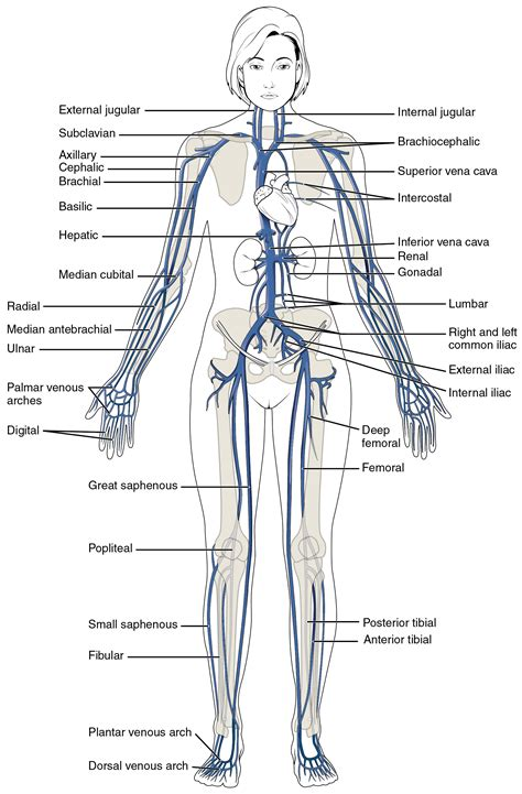 which does the ton go in diagram this diagram shows the major veins in the human