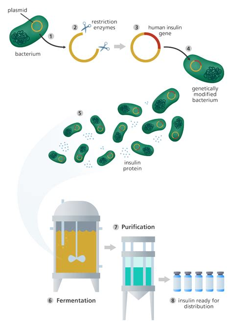 Genetic Engineering what is genetic engineering facts yourgenome org