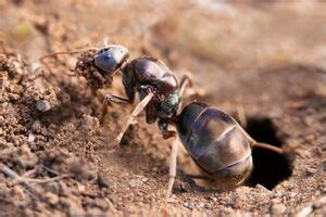ant life cycle antwiki