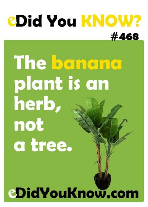 the banana plant is an herb not a tree in fact the banana is the largest plant on earth