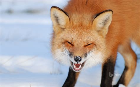 fox 5 fan of the day fox in 206 les de boucherville national park near montreal