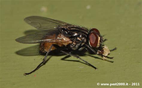 mosche volanti forum mosche musca domestica fannia canicularis pestforum