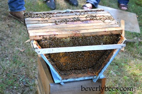 top bar hive inspection with sam comfort beverly bees