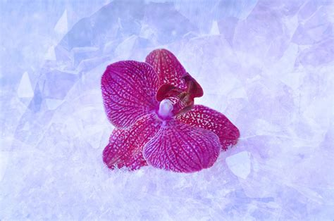 fiore neve foto gratis orchidea fiore viola neve immagine