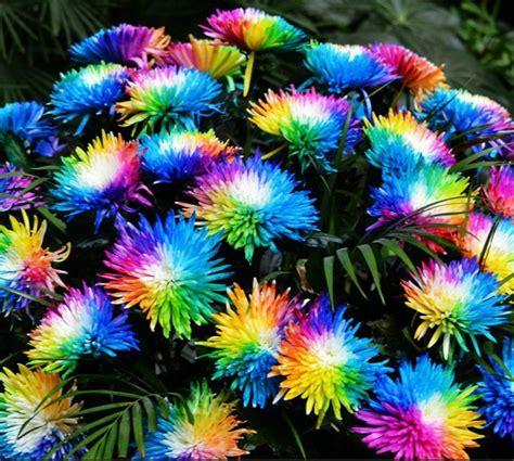 garden flower seeds 20 rainbow chrysanthemum flower seeds color home
