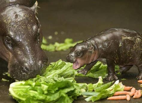 baby pygmy hippo baby pygmy hippo 1funny