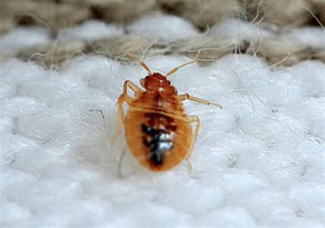dead bed bugs dead bed bug picture of doubletree by hilton orlando at
