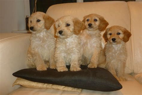 cockapoo puppies for sale in cockapoo puppies for sale birmingham west midlands pets4homes