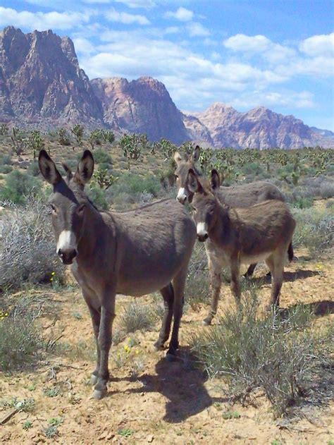 Two Donkeys Two 1 Mountain Eze by 17 Best Images About Burros On Rocks
