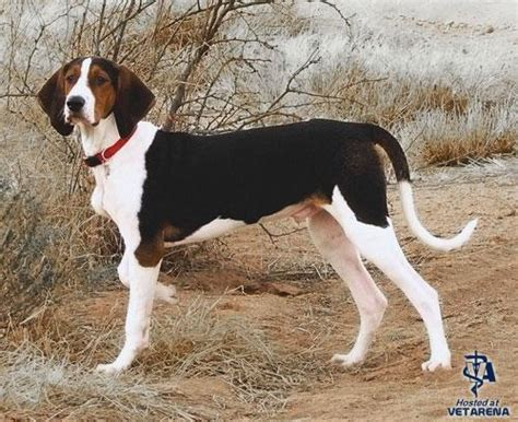coon breeds treeing walker coonhound complete breed information and photos