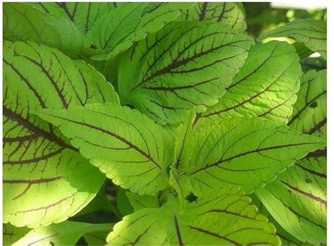fresh green coleus flower plant photos jpg
