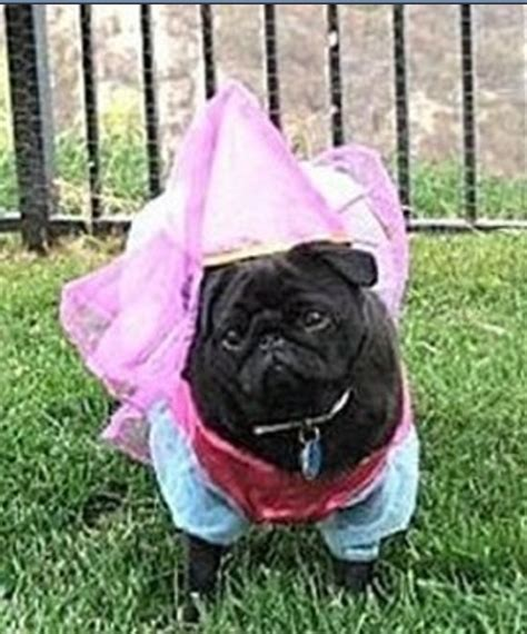 what do pugs eat and drink 17 best images about what i think of my pug on pictures of pet and
