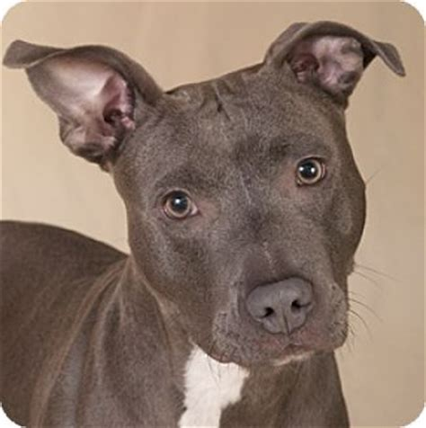 pitbull puppies illinois chicago il american pit bull terrier meet moxie a for adoption