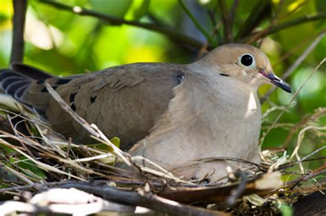 mourning dove aspen song wild bird food