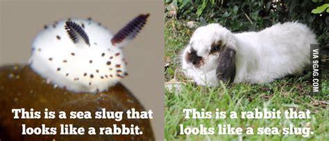 like a bunny jorunna parva a sea slug that looks like bunny 9gag