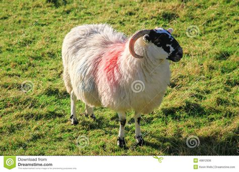 colored sheep colored sheep in northern ireland stock photo image of
