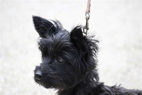 all about yorkie poos yorkie poo merchandise breeds picture
