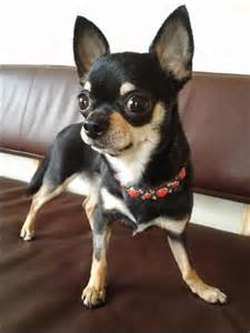Do Hair Chihuahuas Shed by 100 Best Images About Hair Chihuahua Dogs On