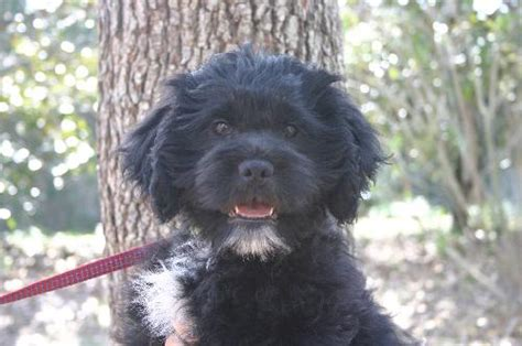 shih tzu x labrador shih tzu lab mix puppies www imgkid the image kid has it
