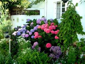 change color of hydrangea learn how to change the color of your hydrangeas garden