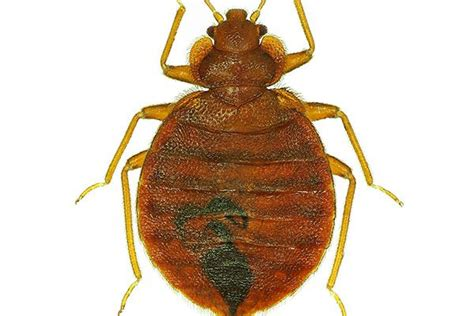 bed bug heat treatment effectiveness 17 best images about don t let the bed bugs bite on
