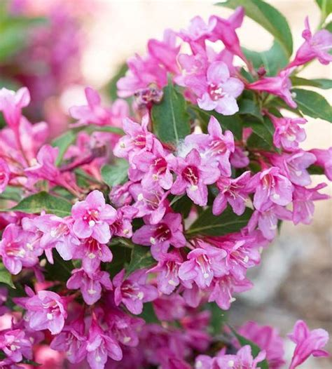pink flower shrub new trees and shrubs for 2013 gardens jazz and sun