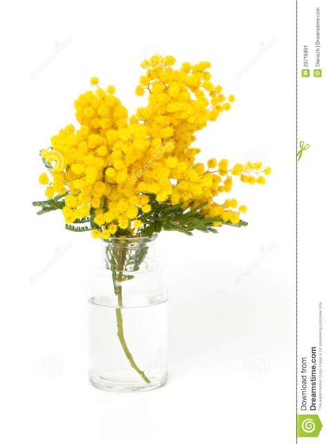 mimosa in vaso ramoscello della mimosa in vaso immagine stock immagine
