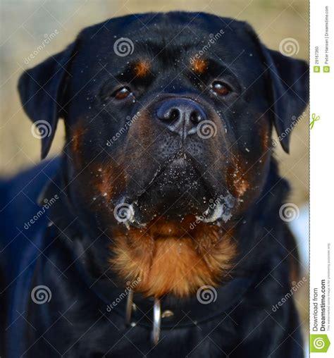 perro rottweiler precio perro adulto fiel de rottweiler foto de archivo imagen 29167360