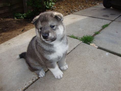 husky inu puppies for sale akita inu husky mix breeds picture