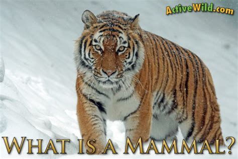 is a a mammal what is a mammal mammal characteristics definition with pictures facts