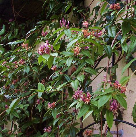honeysuckle evergreen climbing plants lonicera henryi evergreen honeysuckle 40 55cm 15cm pot
