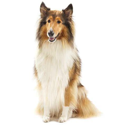 Collie (Rough)   Collie (Rough) Pet Insurance & Info